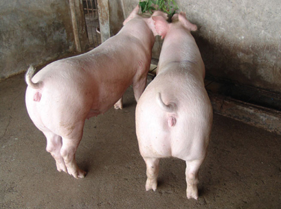 美系长白母猪